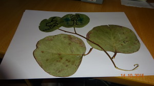 My doodle on the large eucalypt leaves
