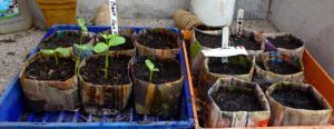 Sunflowers growing and further pots planted